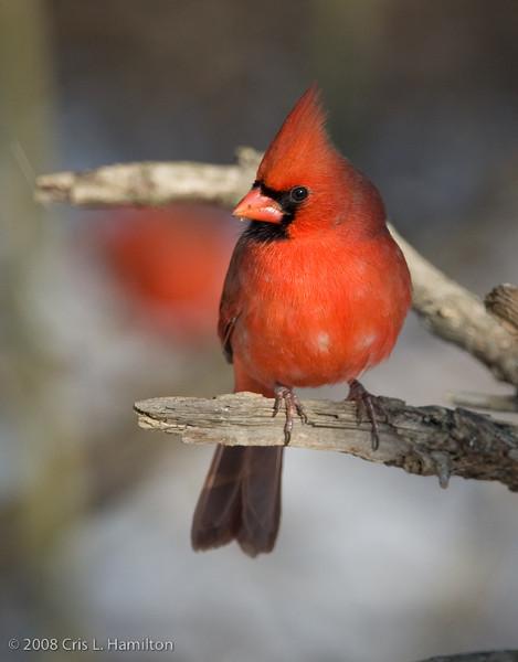 Cardinal Male_ThksgvngBirds-0258