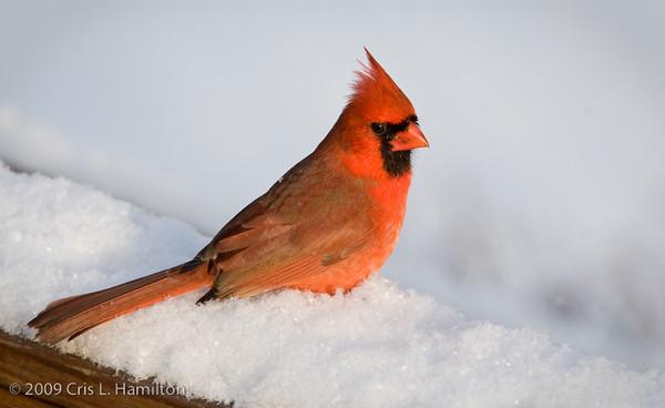 Cardinal Male-0674