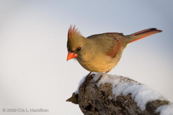 Cardinal Fem-0669