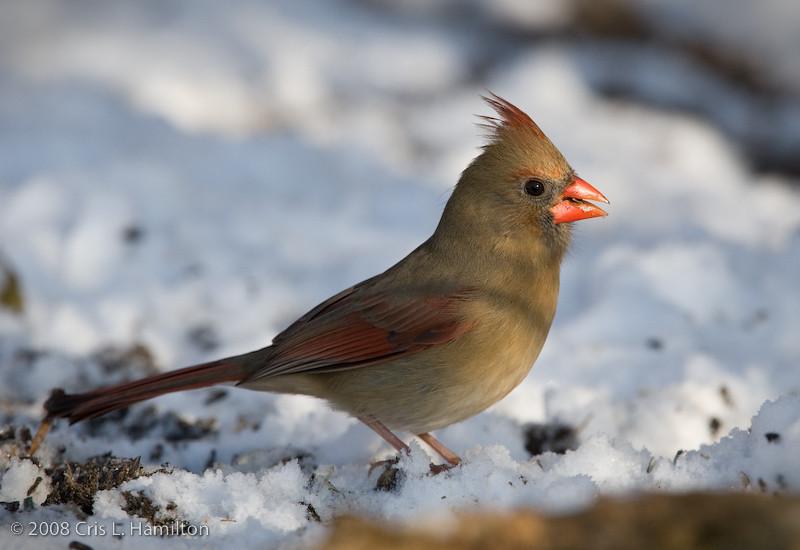 Cardinal Fem_ThksgvngBirds-0172