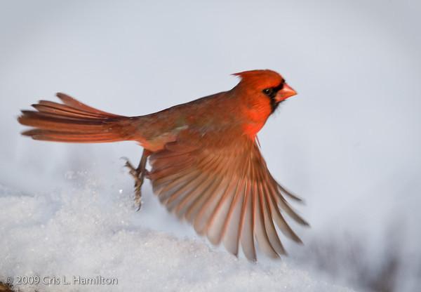 Cardinal Male Fly-0677