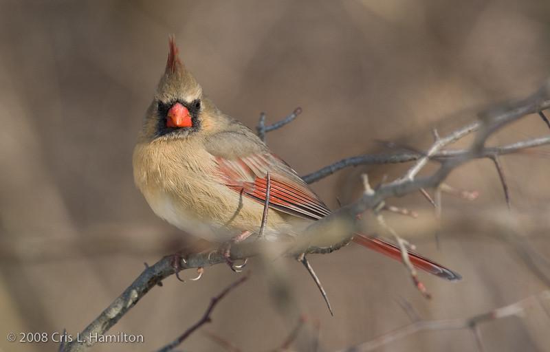 Cardinal Fem_ThksgvngBirds-0220
