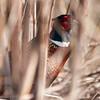 Pheasant-7010
