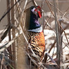 Pheasant-7045