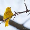 Yellow Warbler-6078