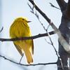 Yellow Warbler-5989