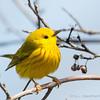 Yellow Warbler-6029