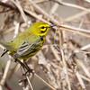 Prairie Warbler-6155