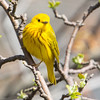 Yellow Warbler-6050