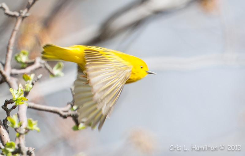 Yellow Warbler flight-6056
