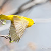 Yellow Warbler flight-6056