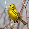 Prairie Warbler-6165