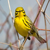 Prairie Warbler-6166