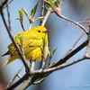 Yellow Warbler-5977