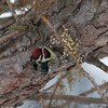 Yellow-Bellied Sapsucker-2371