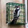 Downy Woodpecker-9688
