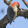 Red-bellied Woodpecker-2440