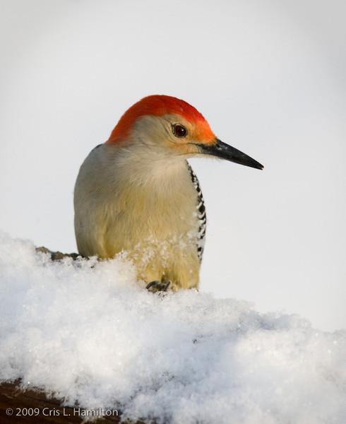 Red-bellied Woodpecker-0659
