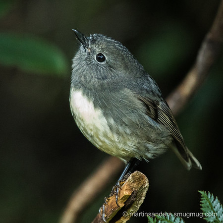 NZ Robin (South Island)