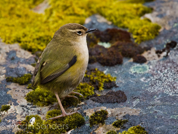 NZ Rock Wren