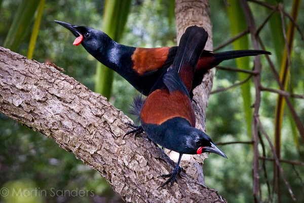 North island Saddleback - tieke