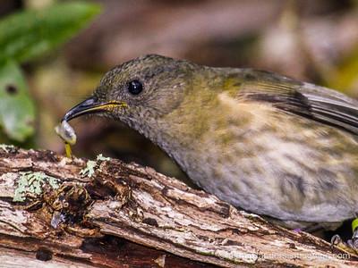 The Bellbird (Korimako) Anthornis melanura melanura
