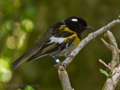 Stitchbirds (Hihi)  Notiomystis cincta