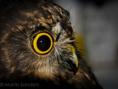 The morepork (Ruru ) Ninox novaeseelandiae novaeseelandiae  is a dark brown owl