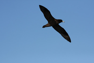 Black Petrel (Taiko) Procellaria parkinsoni