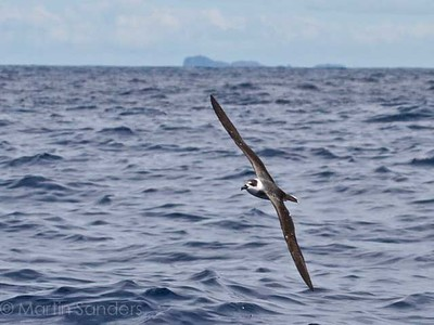 Petrel white-naped - 2