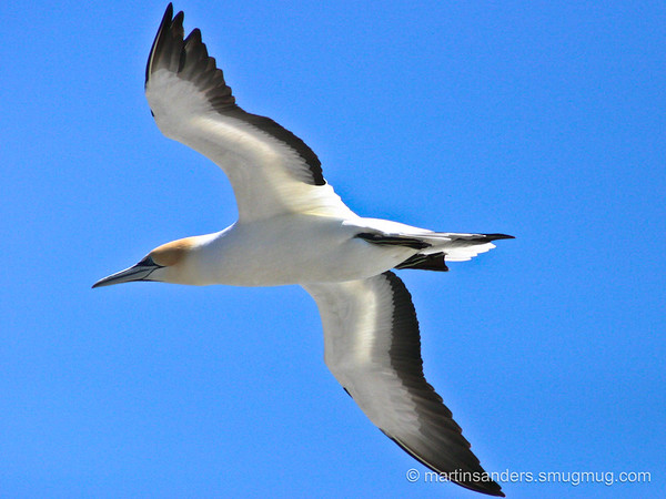 Gannets and Boobys
