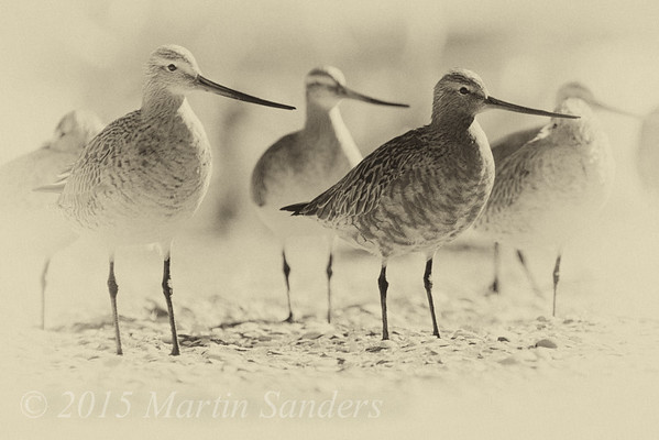 Godwits and Knots