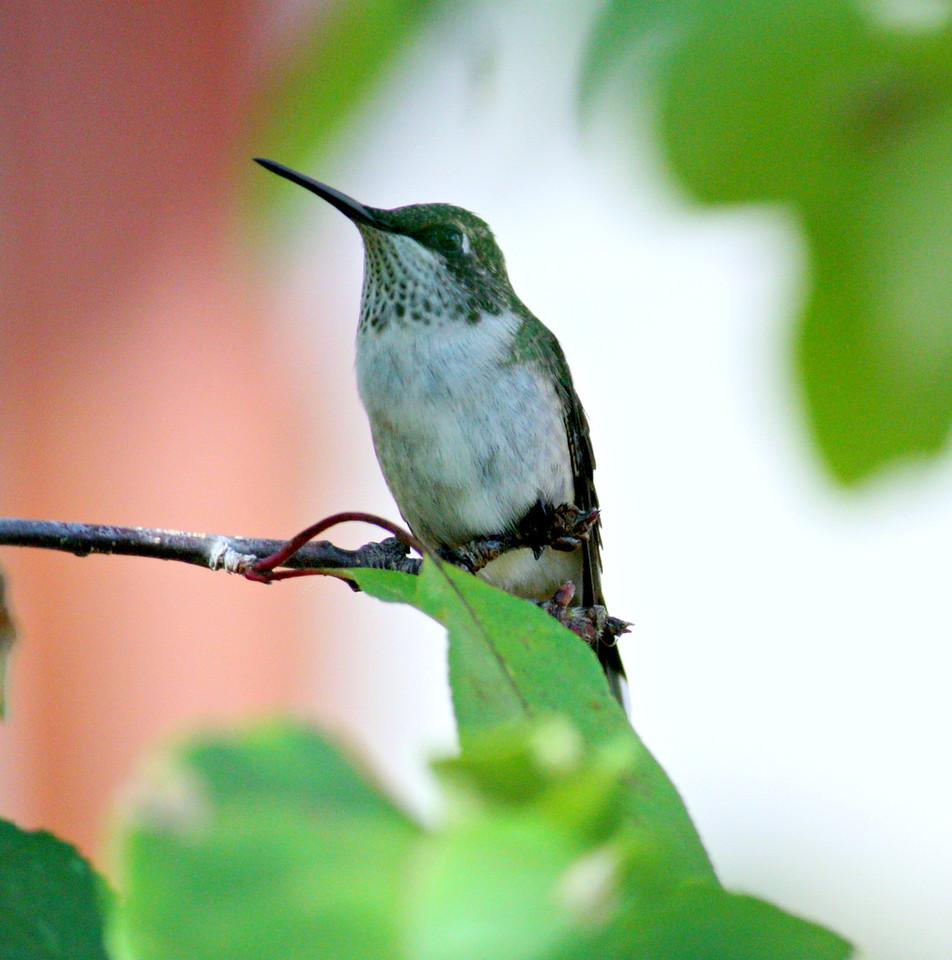 Ruby-throated Hummingbird / Female