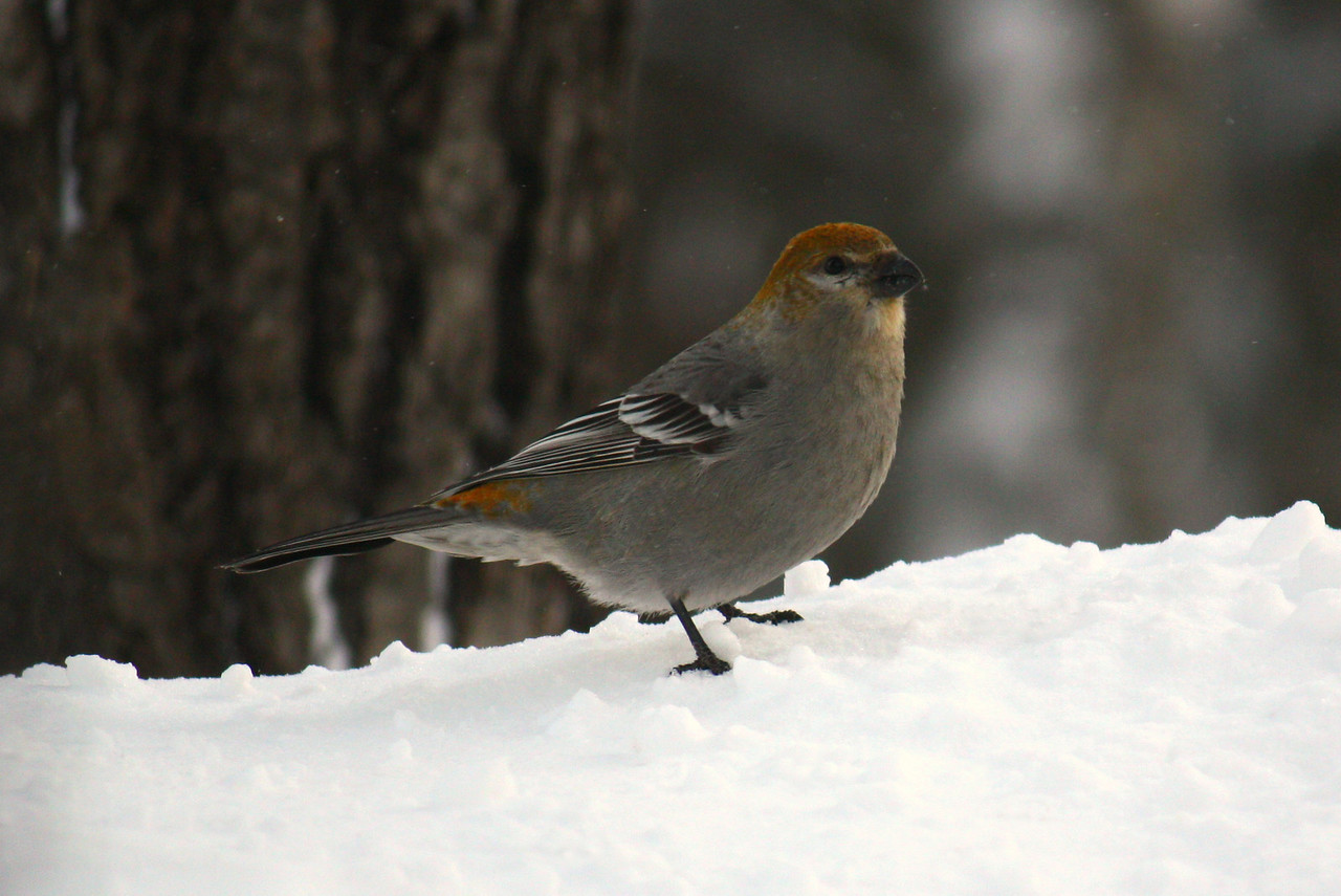 Pine Grosbeak / Female