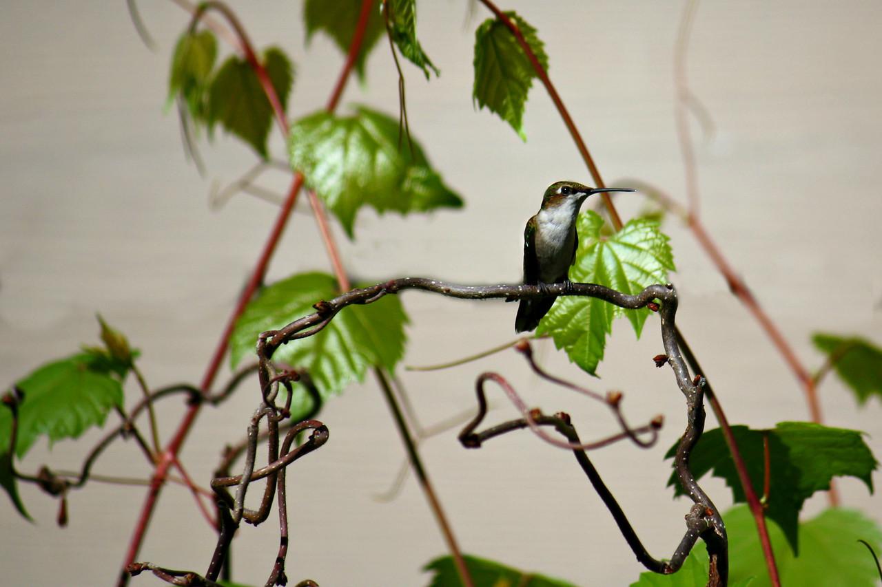 Hummingbird Vinyard