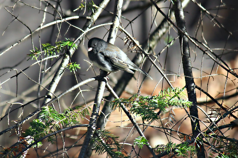 January's Junco