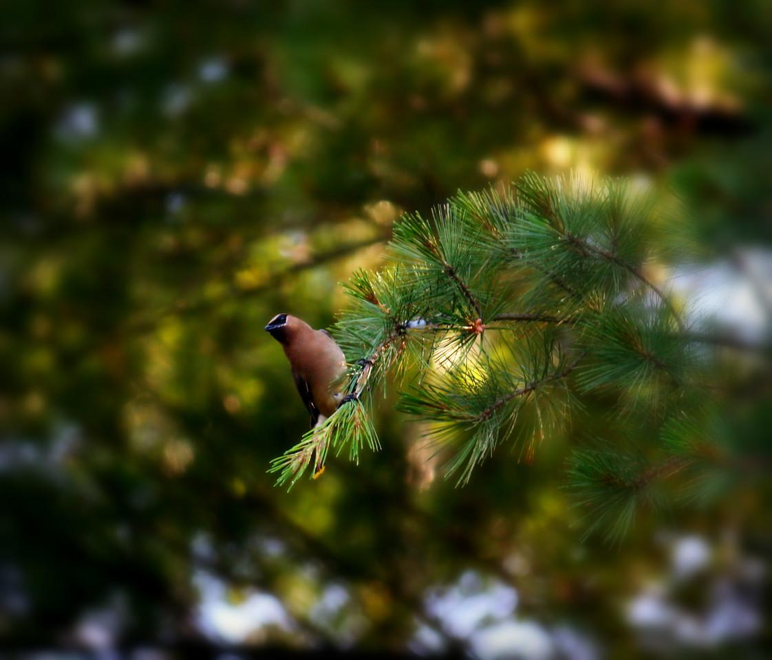 Cedar And Pine