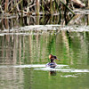 Hooded Merganser / Female
