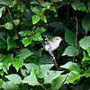 Pine Warbler / Female