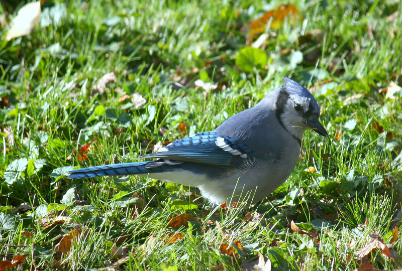 Building Blue Jay