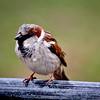 English Sparrow