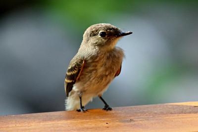 Flycatcher / Juvenile #1