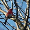 Pine Grosbeak / Male