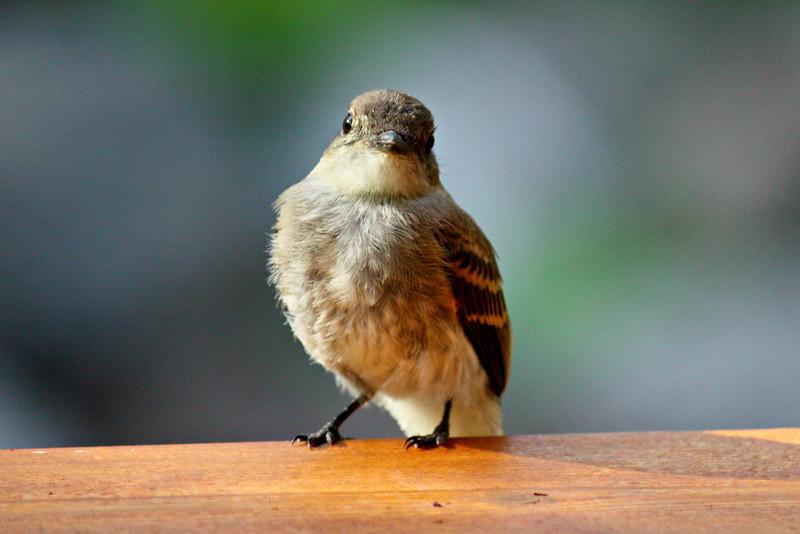 Flycatcher / Juvenile #2