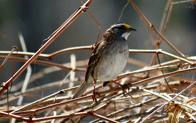 White-throated Sparrow / Male