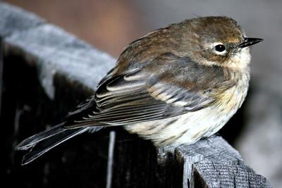 Myrtle Warbler / Juvenile