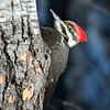 Pileated Woodpecker / Female