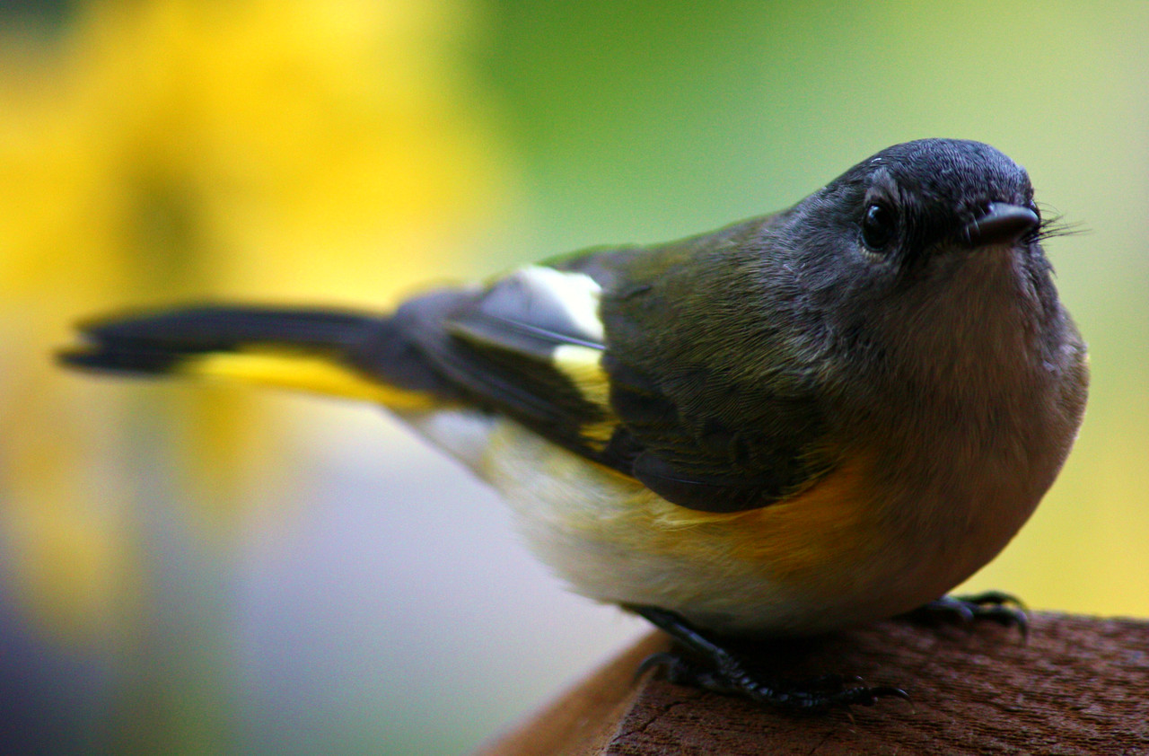 American Redstart / Female