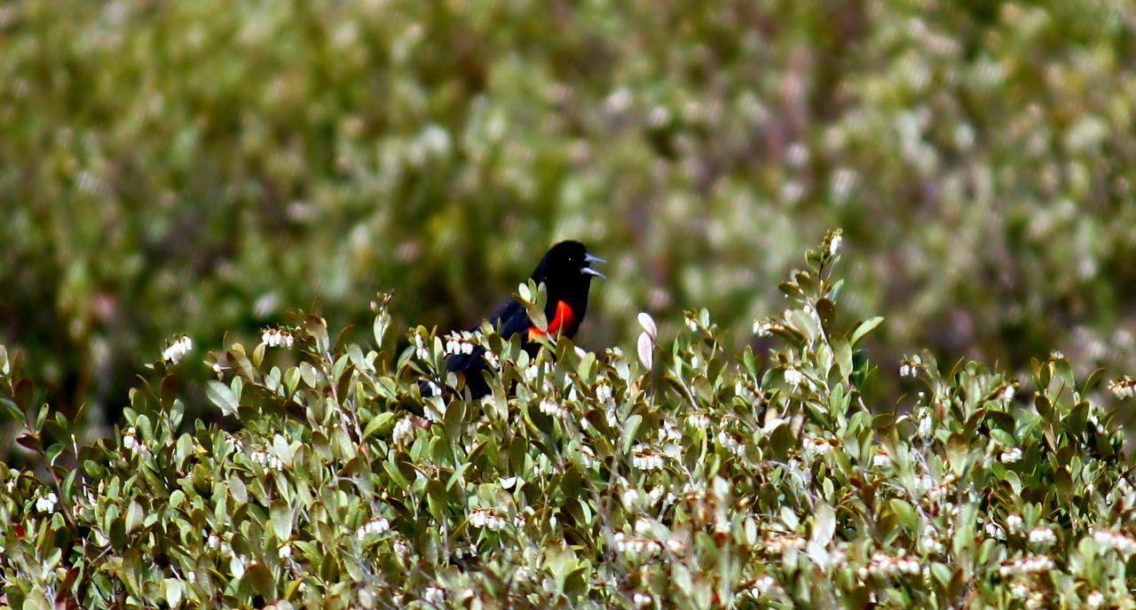 Redwing / Male