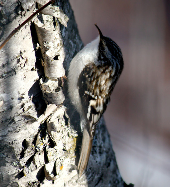 Spring Time Brown Creeper